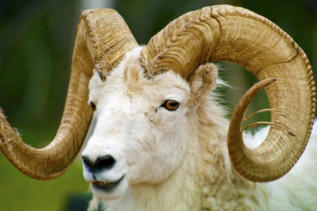 dall-sheep-th2