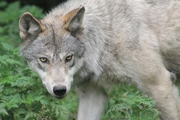 hunt wolf in alaska